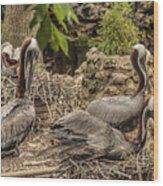 Nesting Brown Pelicans Wood Print
