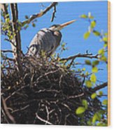 Nesting Great Blue Heron Wood Print