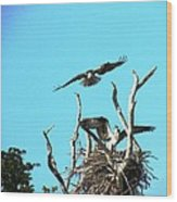 Nesting Ospray Wood Print by Will Boutin Photos