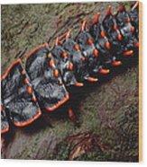 Net-winged Beetle  Borneo Wood Print