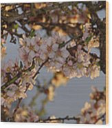 New Blossoms - Old Almond Tree Wood Print