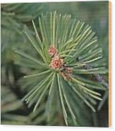New Blue Spruce Buds Wood Print