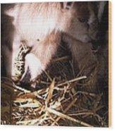 New Born Baby Goat Wood Print by Nickolas Kossup