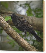 Red Winged Blackbird - New Heights - 06.04.2014 Wood Print