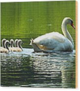 New Mute Swan Family In May Wood Print