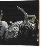 Frolicking Zebra On Black Wood Print