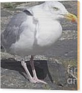 New Quay Gull 1 Wood Print