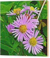 New York Asters In Flower's Cove-newfoundland Wood Print