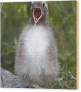 Newborn Arctic Tern Chick With Mouth Wood Print