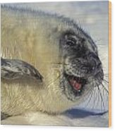 Newborn Gray Seal Pup Halichoerus Wood Print