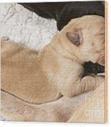 Newborn Labrador Puppy Suckling Wood Print