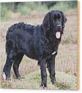 Newfoundland Dog Wood Print