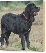 Newfoundland Dog, Standing In Field Wood Print