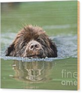 Newfoundland Dog, Swimming In River Wood Print
