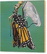 Newly-emerged Monarch Butterfly Wood Print