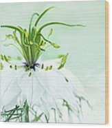 Nigella Damascena 'double White'  Wood Print