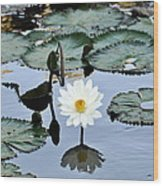 #night Blooming Water Lily Wood Print