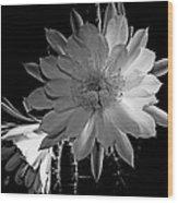 Nightblooming Cereus Cactus Flower Wood Print