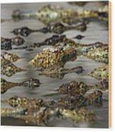 Nile Crocodiles Crocodylus Niloticus Wood Print