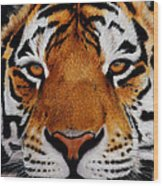 Nobility   Amur   Siberian  Tiger Wood Print