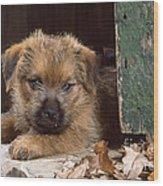 Norfolk Terrier Puppy By Barn Door Wood Print