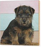 Norfolk Terrier Puppy Dog, Sitting Wood Print