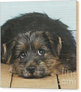 Norfolk Terrier Puppy Wood Print