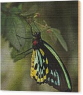 Northern Butterfly Wood Print