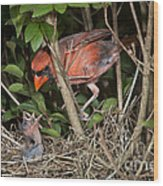 Northern Cardinal At Nest Wood Print