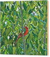 Northern Cardinal Hiding Among Green Leaves Wood Print by Cyril Maza