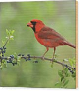 Northern Cardinal Male Eating Elbow Wood Print