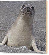 Northern Elephant Seal Weaner Wood Print