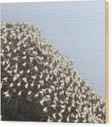 Northern Gannet Colony Wood Print