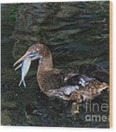 Northern Gannet Feeding Wood Print