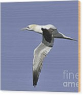Northern Gannet In Flight Wood Print
