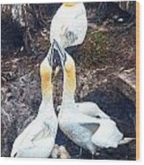 Northern Gannet Wood Print