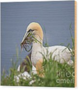 Northern Gannet Gathering Nesting Material Wood Print