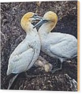 Northern Gannets And Chick 2 Wood Print