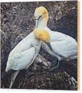 Northern Gannets And Chick Wood Print