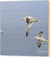 Northern Gannets In Flight Wood Print
