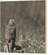Northern Harrier At Rest Wood Print