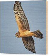 Northern Harrier Wood Print