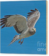 Northern Harrier Male In Flight Wood Print