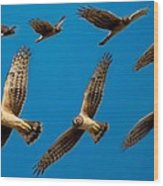 Northern Harrier Sequence Wood Print