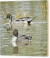 Northern Pintail Ducks  Wood Print