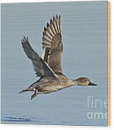 Northern Pintail Hen Wood Print