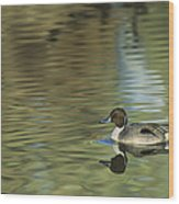 Northern Pintail In A Quiet Pond California Wildlife Wood Print