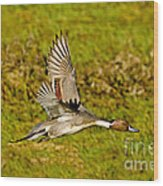Northern Pintail In Flight Wood Print
