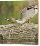 Northern Pintail  Wood Print