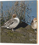 Northern Pintail Pair At Rest Wood Print